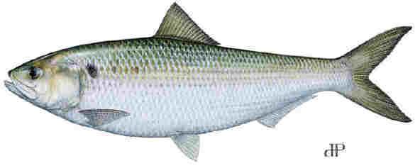Lenape delaware indian seasons shad fish publicscrutiny Image collections